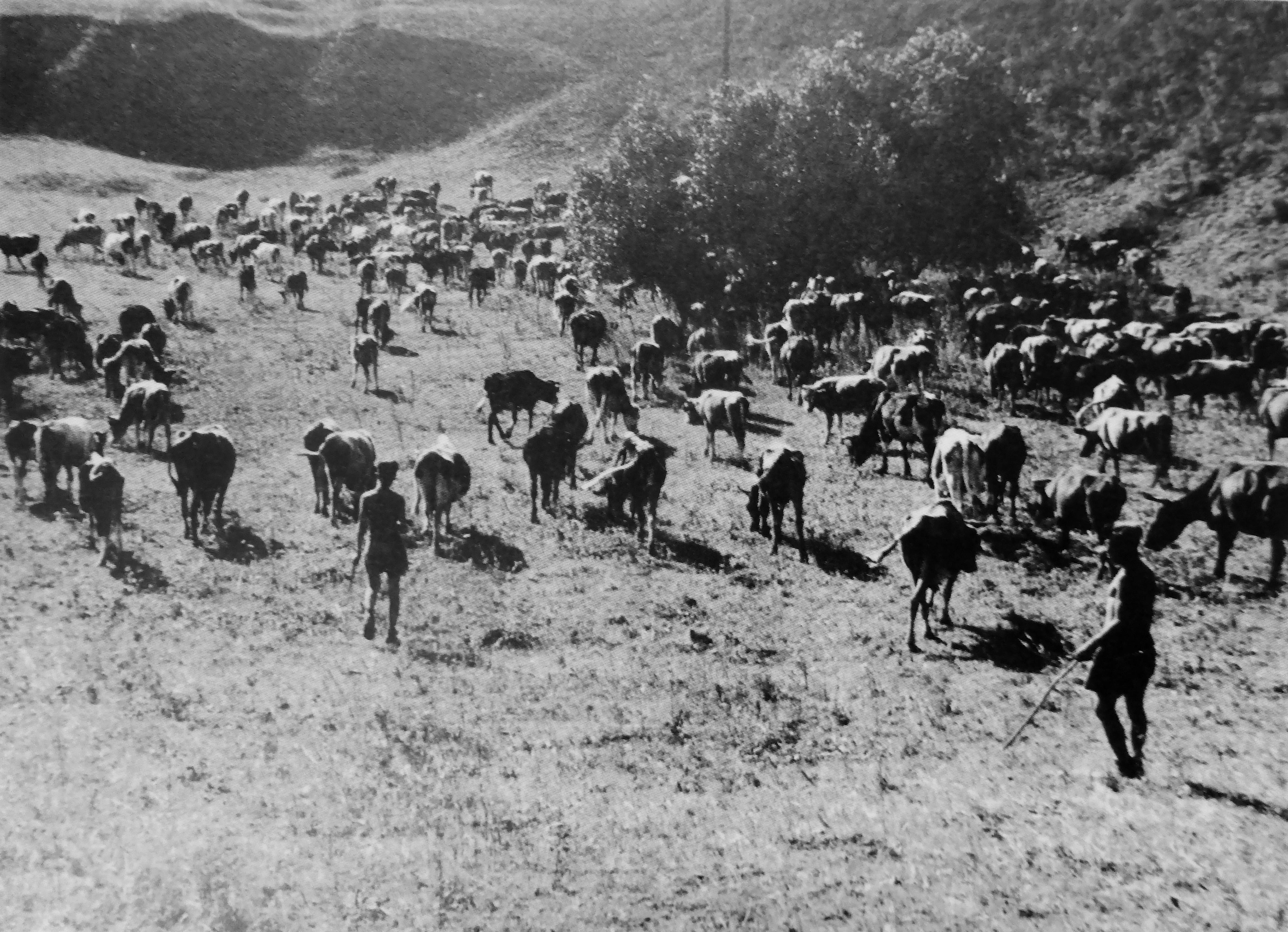 Немецкие солдаты гонят скот, реквизированный в оккупированных советских деревнях